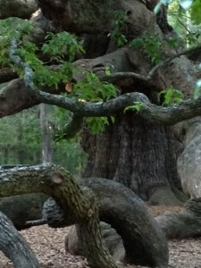 Angel Oak Tree 1